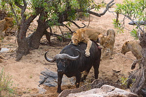 Lionesses (Panthera leo) trying to bring down African buffalo (Syncerus caffer) Londolozi Private Game Reserve, Sabi Sands Game Reserve, South Africa. Sequence 3 of 5 - Sergey  Gorshkov