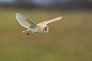 RF - Barn owl (Tyto alba) hunting over meadow. North Norfolk, England, UK. March. (This image may be licensed either as rights managed or royalty free.)  -  David Tipling