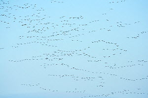 RF - Pink-footed geese (Anser brachyrhynchus) flock above harvested beet field. North Norfolk, England, UK. December. (This image may be licensed either as rights managed or royalty free.) - David Tipling