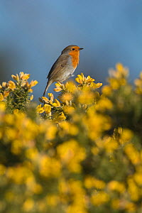 RF - Robin (Erithacus rubecula) in spring, perched on Gorse. Norfolk, England, UK. March. (This image may be licensed either as rights managed or royalty free.)  -  David Tipling