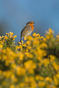 RF - Robin (Erithacus rubecula) singing  in spring perched on Gorse. Norfolk, England, UK. March. (This image may be licensed either as rights managed or royalty free.)  -  David Tipling