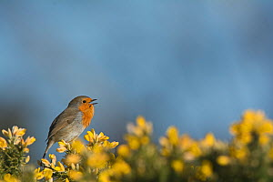 RF - Robin (Erithacus rubecula) singing in spring perched in Gorse. Norfolk, England, UK. March. (This image may be licensed either as rights managed or royalty free.)  -  David Tipling