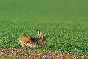 RF - Brown hare (Lepus europaeus) stretching. North Norfolk, England, UK. March. (This image may be licensed either as rights managed or royalty free.) - David Tipling