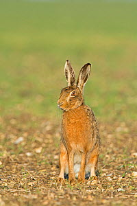 RF - Brown hare (Lepus europaeus) sitting looking away. Near Holt, Norfolk, England, UK. March. (This image may be licensed either as rights managed or royalty free.)  -  David Tipling