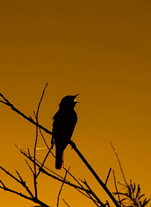 RF - Nightingale (Luscinia megarhynchos) in song, silhouetted, Camargue, Provence, France. May. (This image may be licensed either as rights managed or royalty free.)  -  David Tipling