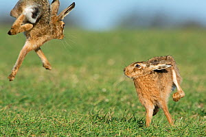RF - Brown hares (Lepus europaeus) boxing near Holt, Norfolk, England. UK. March. (This image may be licensed either as rights managed or royalty free.)  -  David Tipling