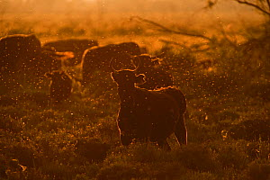 RF - Domestic Black bulls (Bos taurus) surrounded by mosquitos (Culicidae) on summer evening. Camargue, Provence, France. May. (This image may be licensed either as rights managed or royalty free.) - David Tipling
