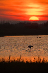 RF - Greater flamingo (Phoenicopterus roseus) feeding in pool at dusk. Camargue, Provence, France. May 2015. (This image may be licensed either as rights managed or royalty free.)  -  David Tipling