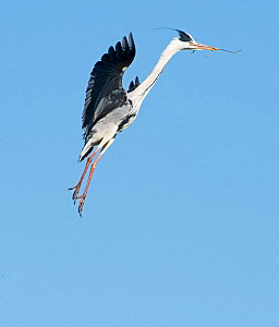 RF - Grey heron (Ardea cinerea) flying with stick for nest. Camargue, Provence, France. May. (This image may be licensed either as rights managed or royalty free.) - David Tipling