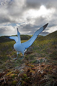 RF - Wandering albatross (Diomeda exulans) displaying. Albatross Island, Bay of Isles, South Georgia. January 2015. (This image may be licensed either as rights managed or royalty free.) - David Tipling