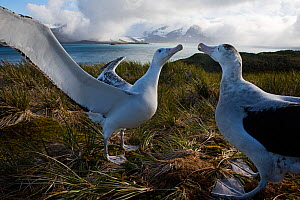 RF - Wandering albatross (Diomedea exulans) pair displaying. Albatross Island, Bay of Isles, South Georgia. January 2015. (This image may be licensed either as rights managed or royalty free.) - David Tipling