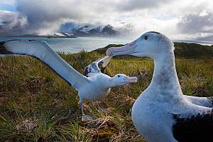 RF - Wandering albatross (Diomedea exulans) pair displaying, Albatross Island, Bay of Isles, South Georgia. January 2015. (This image may be licensed either as rights managed or royalty free.) - David Tipling