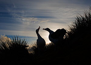 RF - Wandering albatross (Diomedea exulans) pair displaying at dusk. Albatross Island, South Georgia. January. (This image may be licensed either as rights managed or royalty free.) - David Tipling