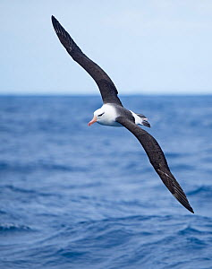 RF - Black-browed albatross (Thalassarche melanophris) in flight, South Atlantic, South Georgia. January. (This image may be licensed either as rights managed or royalty free.)  -  David Tipling