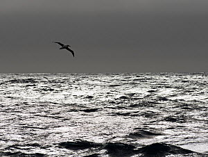 RF - Wandering albatross (Diomedea exulans) silhouetted above Southern Ocean, South Georgia. January. (This image may be licensed either as rights managed or royalty free.) - David Tipling