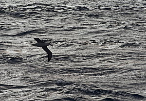 RF - Wandering albatross (Diomedea exulans) silhouetted against Southern Ocean, South Georgia. January. (This image may be licensed either as rights managed or royalty free.) - David Tipling