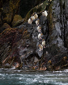 RF - Macaroni penguins  (Eudyptes chrysolophus) entering sea from rocks. Bird Island, South Georgia. January. (This image may be licensed either as rights managed or royalty free.) - David Tipling