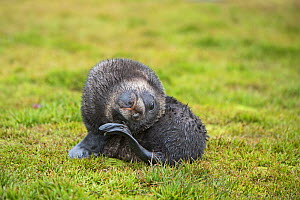 RF - Antarctic fur seal (Arctocephalus gazella) pup scratching, Grytviken, South Georgia. January. (This image may be licensed either as rights managed or royalty free.) - David Tipling