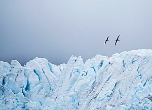 RF - Light-mantled sooty albatross (Phoebetria palpebrata) pair in courtship display flight above Fortuna Glacier, South Georgia. January 2015. (This image may be licensed either as rights managed or...  -  David Tipling