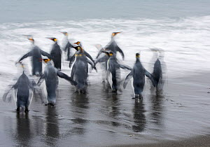 RF - King penguins (Aptenodytes patagonicus) departing for sea. Salisbury Plain, South Georgia. January. (This image may be licensed either as rights managed or royalty free.)  -  David Tipling