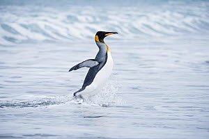 RF - King penguin (Aptenodytes patagonicus) walking from sea. Salisbury Plain, South Georgia. January. (This image may be licensed either as rights managed or royalty free.)  -  David Tipling