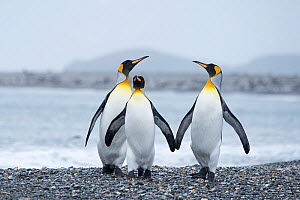 RF - King penguin (Aptenodytes patagonicus) group of three. Salisbury Plain, South Georgia. January. (This image may be licensed either as rights managed or royalty free.)  -  David Tipling
