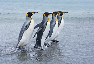 RF - King penguin (Aptenodytes patagonicus) group of four walking at waters edge. Salisbury Plain, South Georgia. January. (This image may be licensed either as rights managed or royalty free.) - David Tipling