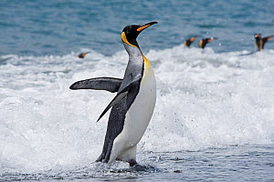 RF - King penguin (Aptenodytes patagonicus) in surf at water's edge. Salisbury Plain, South Georgia. January. (This image may be licensed either as rights managed or royalty free.)  -  David Tipling