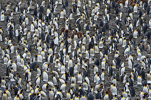 RF - King penguin (Aptenodytes patagonicus) colony. Salisbury Plain, South Georgia. January. (This image may be licensed either as rights managed or royalty free.)  -  David Tipling