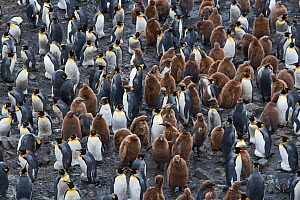RF - King penguin (Aptenodytes patagonicus) colony with chicks. Salisbury Plain, South Georgia. January. (This image may be licensed either as rights managed or royalty free.) - David Tipling