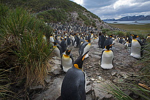 RF - King penguin (Aptenodytes patagonicus) colony. Salisbury Plain, South Georgia. January 2015. (This image may be licensed either as rights managed or royalty free.) - David Tipling