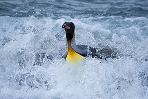 RF - King penguin (Aptenodytes patagonicus) in surf. Salisbury Plain, South Georgia. January. (This image may be licensed either as rights managed or royalty free.)  -  David Tipling