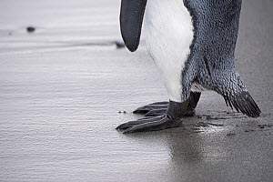 RF - King penguin (Aptenodytes patagonicus) feet on sand. Salisbury Plain, South Georgia. January. (This image may be licensed either as rights managed or royalty free.)  -  David Tipling
