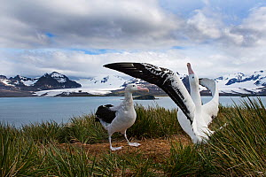 RF - Wandering albatross (Diomedea exulans) pair displaying, Albatross Island, South Georgia. January 2015. (This image may be licensed either as rights managed or royalty free.) - David Tipling