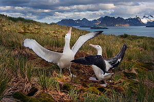 RF - Wandering albatross (Diomedea exulans) pair displaying on Albatross Island, South Georgia. January 2015. (This image may be licensed either as rights managed or royalty free.)  -  David Tipling