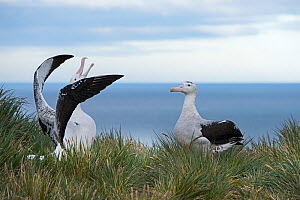 RF - Wandering albatross (Diomedea exulans) pair displaying. Albatross Island, South Georgia. January. (This image may be licensed either as rights managed or royalty free.) - David Tipling