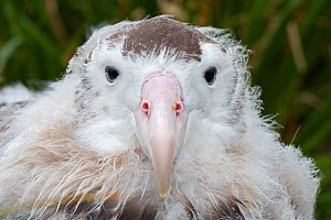 RF- Wandering albatross (Diomedea exulans) head portrait fledgling aged 10 weeks preparing to leave nest. Cape Alexandra, South Georgia. January. (This image may be licensed either as rights managed o... - David Tipling