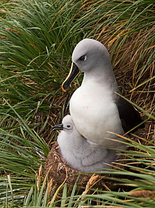 RF - Grey-headed albatross (Thalassarche chrysostoma) adult brooding chick in colony at Elsehul, South Georgia. January. (This image may be licensed either as rights managed or royalty free.)  -  David Tipling