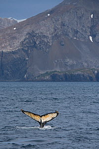 RF - Tail of a Humpback Whale (Megaptera novaeangliae). Weddell Point, South Georgia. January. (This image may be licensed either as rights managed or royalty free.)  -  David Tipling