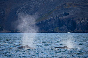 RF - Humpback Whales (Megaptera novaeangliae) blowing at Weddell Point, South Georgia. January 2015. (This image may be licensed either as rights managed or royalty free.)  -  David Tipling