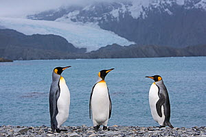 RF - King penguins (Aptenodytes patagonicus) standing on beach by sea. Holmestrand, South Georgia. January 2015. (This image may be licensed either as rights managed or royalty free.)  -  David Tipling