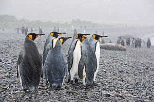 RF - King penguins (Aptenodytes patagonicus) on beach in rain. Holmestrand, South Georgia. January. (This image may be licensed either as rights managed or royalty free.) - David Tipling