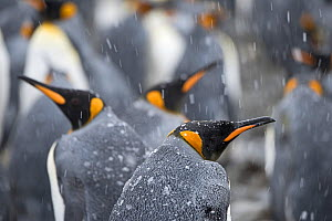 RF- King penguins (Aptenodytes patagonicus) in snow. Holmestrand, South Georgia. January. (This image may be licensed either as rights managed or royalty free.) - David Tipling