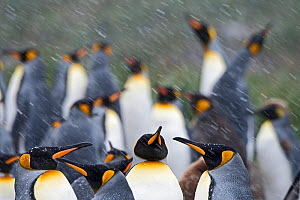 RF - King penguins (Aptenodytes patagonicus) in blizzard. Holmestrand, South Georgia. January. (This image may be licensed either as rights managed or royalty free.) - David Tipling