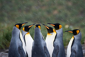 RF - King penguins (Aptenodytes patagonicus) in group. Holmestrand, South Georgia. January. (This image may be licensed either as rights managed or royalty free.) - David Tipling