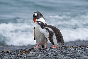 RF - Gentoo penguin (Pygoscelis papua) adult with begging chick, Holmestrand, South Georgia, January. (This image may be licensed either as rights managed or royalty free.)  -  David Tipling