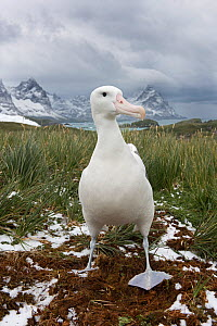 RF - Wandering albatross (Diomeda exulans) at Trollheim, South Georgia. January 2015. (This image may be licensed either as rights managed or royalty free.)  -  David Tipling