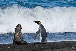 RF - King penguins (Aptenodytes patagonicus) and aggressive Antarctic fur seal pup (Arctocephalus gazella). St Andrews Bay, South Georgia. January. (This image may be licensed either as rights managed...  -  David Tipling