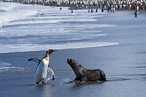 RF - King penguin (Aptenodytes patagonicus) and aggressive Antarctic fur seal pup (Arctocephalus gazella). St Andrews Bay, South Georgia. January. (This image may be licensed either as rights managed...  -  David Tipling
