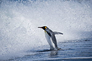 RF - King penguin (Aptenodytes patagonicus) entering waves, St Andrews Bay, South Georgia. January. (This image may be licensed either as rights managed or royalty free.)  -  David Tipling